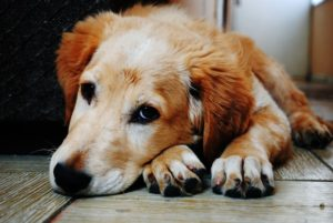 Choosing Dog-Friendly Wood for Your Flooring
